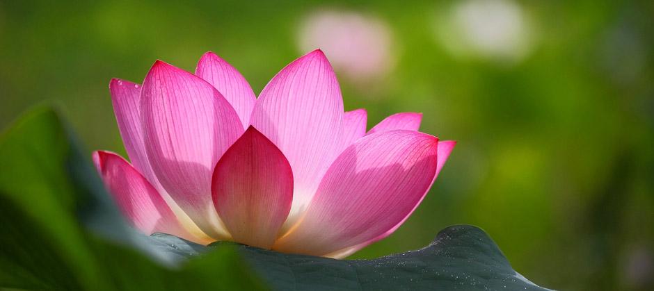 Духовната практика - Лотосов цвят